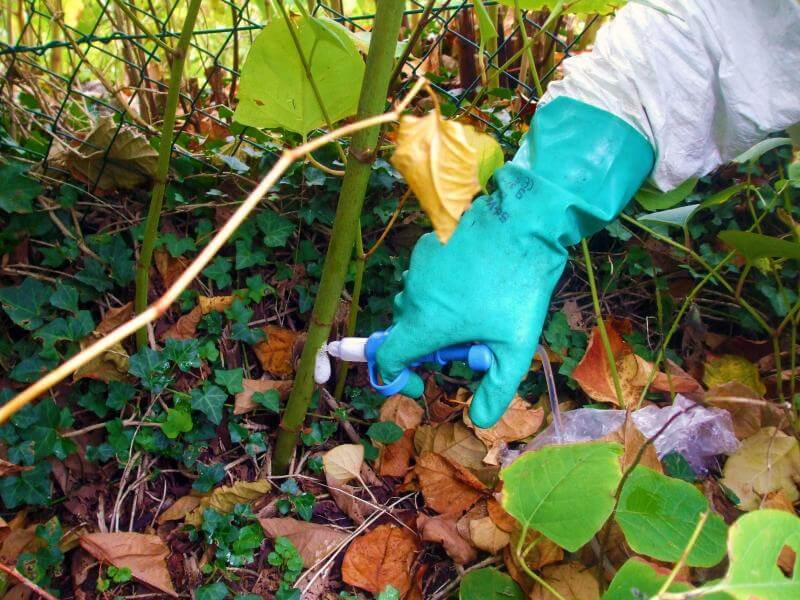 japanese knotweed treatment